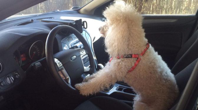 Jak bezpiecznie przewozić psa w samochodzie? Kilka porad